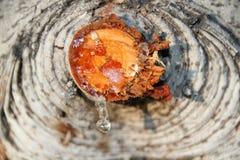 Descensos de la resina de un árbol Fotografía de archivo