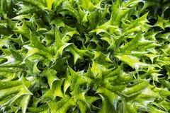 Descensos de las hojas y de la lluvia del acebo después de una ducha del verano Foco selectivo Textura del fondo imágenes de archivo libres de regalías