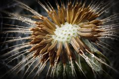 Descensos de las semillas y del agua de la pelusa del diente de león Imagenes de archivo
