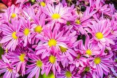 Descensos de rocío de la mañana en las flores rosadas Imagen de archivo libre de regalías