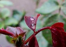 Descensos de rocío en una flor después de la lluvia Fotografía de archivo