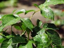 Descensos de rocío en una flor después de la lluvia Foto de archivo libre de regalías