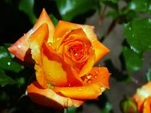 Descensos de rocío en una flor después de la lluvia Fotografía de archivo libre de regalías