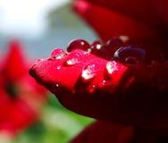 Descensos de rocío en una flor después de la lluvia Imagen de archivo libre de regalías