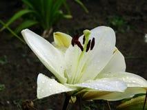 Descensos de rocío en una flor después de la lluvia Fotos de archivo libres de regalías