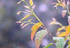 Descensos de rocío de la mañana - condensación del agua en las hojas multicoloras - fondo natural imagenes de archivo