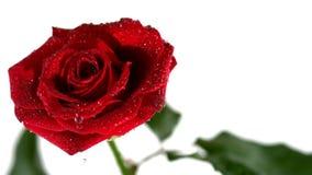 Descensos de rocío que bajan de rosa del rojo metrajes