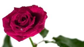 Descensos de rocío que bajan de rosa del rosa almacen de metraje de vídeo