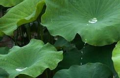 Descensos de salto del agua en la charca de loto Foto de archivo