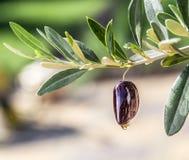 Descensos del aceite de oliva de la baya verde oliva Fotografía de archivo