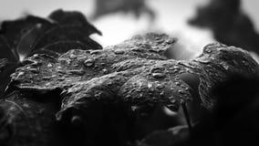 Descensos del agua de la hoja de la uva Fotografía de archivo