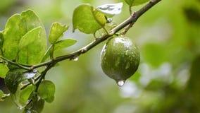 Descensos del agua de lluvia de la cantidad de la fruta de la cal almacen de metraje de vídeo