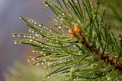 Descensos del agua del pino Imagen de archivo