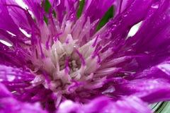 Descensos del agua dentro del brote de flor púrpura Imagen de archivo