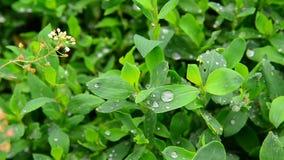 Descensos del agua después de una lluvia en nudo-hierba verde de las hojas almacen de metraje de vídeo