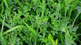 Descensos del agua después de una lluvia en nudo-hierba verde de las hojas almacen de video