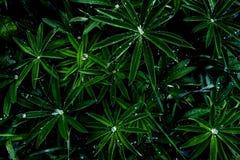 Descensos del agua en hojas verdes vivas después de la lluvia en el jardín, visión superior, en colores de medianoche, negro aisl imágenes de archivo libres de regalías