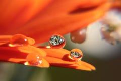 Descensos del agua en la flor del Gerbera Fotos de archivo libres de regalías