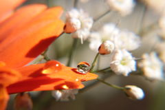 Descensos del agua en la flor del Gerbera Foto de archivo