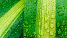 Descensos del agua en la hoja verde o el rocío de restauración en mañana Imagen de archivo