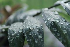 Descensos del agua en las hojas Imágenes de archivo libres de regalías