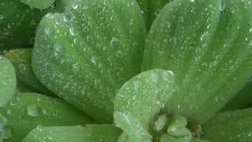Descensos del agua en las hojas de la planta Desde arriba de las hojas del primer de la planta verde con descensos del agua dulce metrajes
