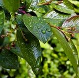 Descensos del agua en las hojas después de la lluvia Fotos de archivo libres de regalías