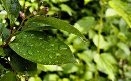 Descensos del agua en las hojas después de la lluvia Fotos de archivo