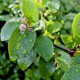 Descensos del agua en las hojas después de la lluvia Fotografía de archivo