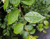 Descensos del agua en las hojas después de la lluvia Imágenes de archivo libres de regalías
