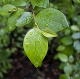 Descensos del agua en las hojas después de la lluvia Imagenes de archivo