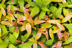 Descensos del agua en las hojas en día lluvioso Fotos de archivo libres de regalías