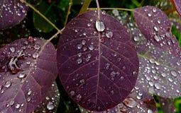 Descensos del agua en las hojas rojas Imágenes de archivo libres de regalías