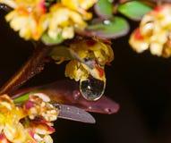 Descensos del agua en las hojas rojas Fotografía de archivo