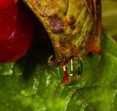 Descensos del agua en las hojas rojas Foto de archivo libre de regalías