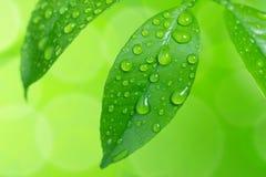 Descensos del agua en las hojas verdes Foto de archivo libre de regalías