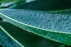 Descensos del agua en las hojas verdes Imagen de archivo libre de regalías