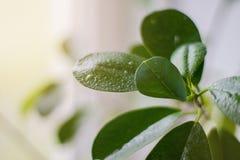 Descensos del agua en las hojas verdes de la flor Backgrou ligero Imagen de archivo