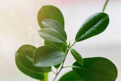 Descensos del agua en las hojas verdes de la flor Backgrou ligero Fotos de archivo