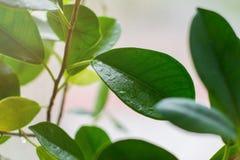 Descensos del agua en las hojas verdes de la flor Backgrou ligero Foto de archivo