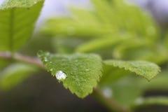 Descensos del agua en las hojas verdes del primer de la hierba Imagen de archivo