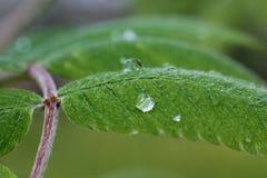 Descensos del agua en las hojas verdes del primer de la hierba Foto de archivo libre de regalías