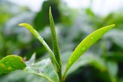 Descensos del agua en las hojas verdes frescas de la planta de té - Camellia Sinensis imagenes de archivo