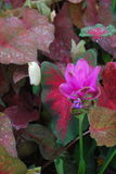 Descensos del agua en las hojas y la flor rosada Fotos de archivo
