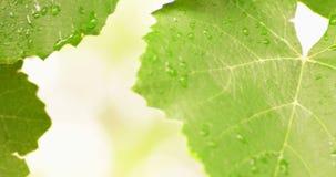 Descensos del agua en tiro verde del PDA de las hojas almacen de video
