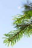 Descensos del agua en un árbol de pino Fotos de archivo libres de regalías