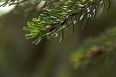 Descensos del agua en un árbol de pino Imagen de archivo libre de regalías