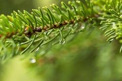 Descensos del agua en un árbol de pino imagen de archivo