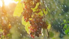 Descensos del agua sobre las hojas de la vid y las uvas rojas metrajes
