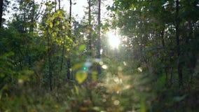 Descensos del goteo del rocío de las hojas La mañana o la tarde, la salida del sol o la puesta del sol en los rayos salvajes del  almacen de metraje de vídeo